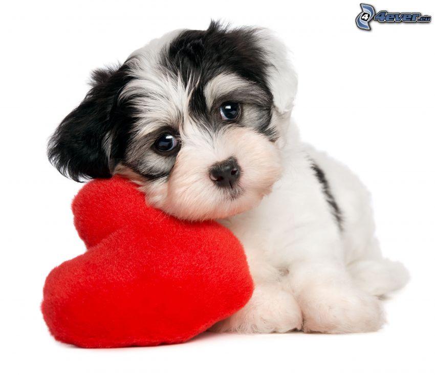 biele šteniatko, červené srdiečko
