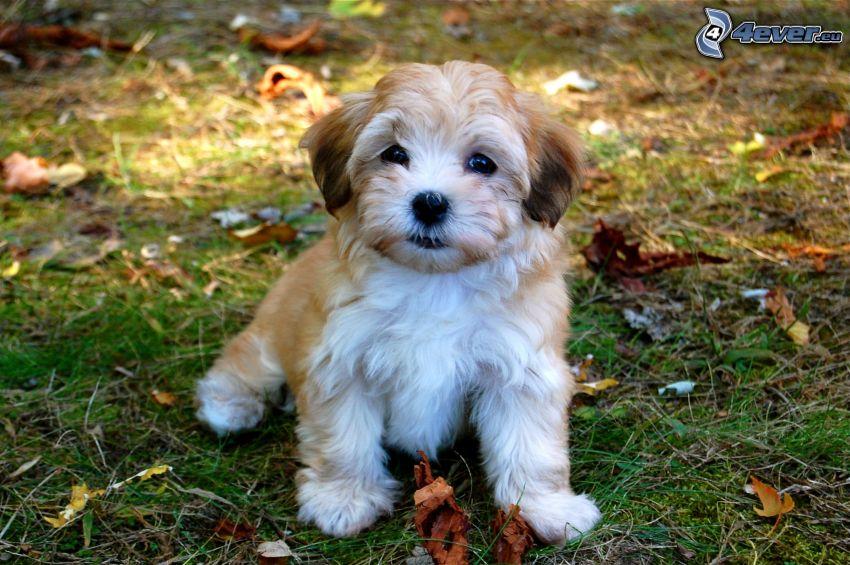 havanský psík, jesenné listy