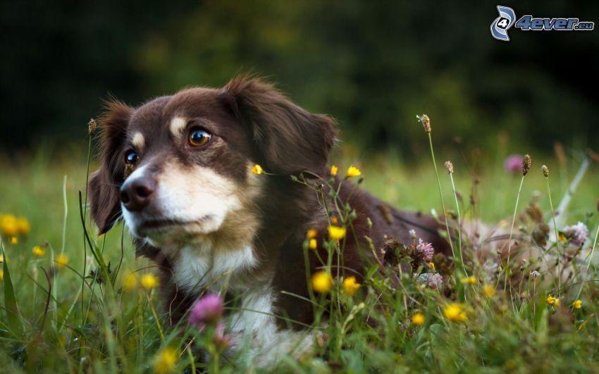 hnedý pes, jarné kvetinky