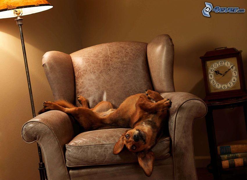 hnedý pes, kreslo, hodiny, lampa, svetlo