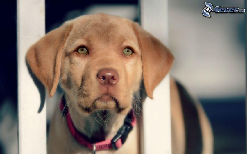 hnedý pes