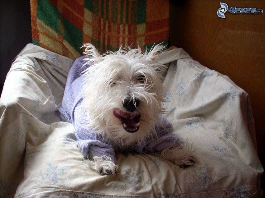 maltézsky pes, kreslo