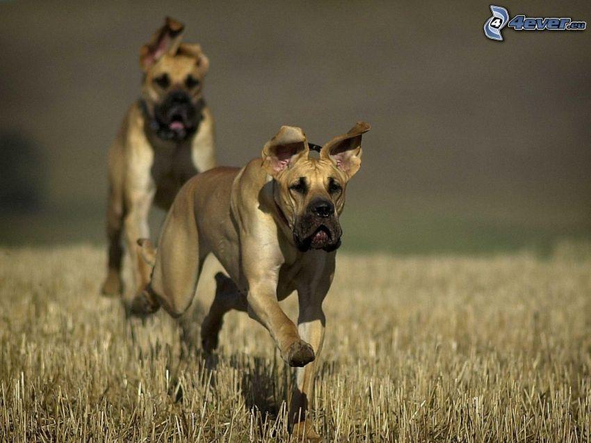 Nemecká doga, beh, pole