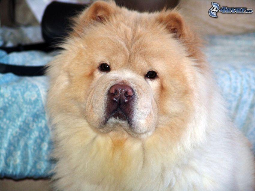 pes čau-čau