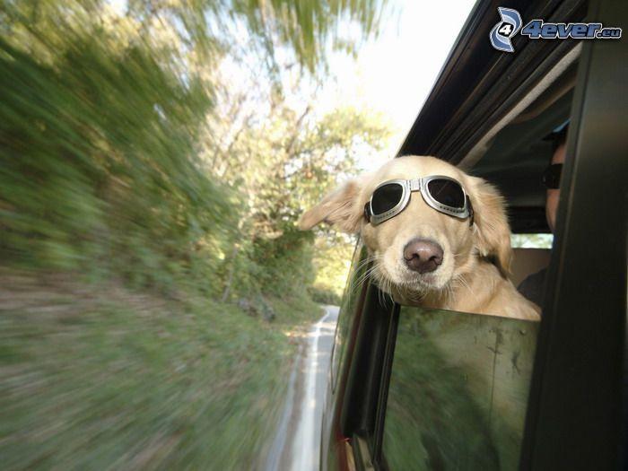 pes v okuliaroch, slnečné okuliare, vlajúce uši, rýchlosť