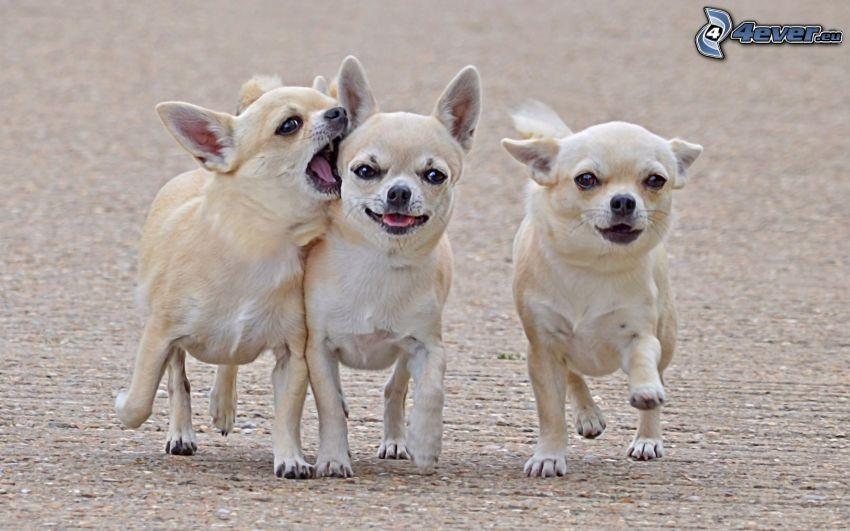 psi, čivava
