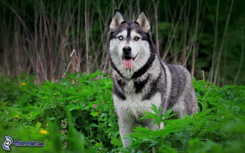 Sibírsky husky, vysoká tráva