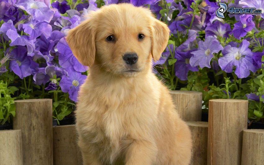 šteniatko Labrador, fialové kvety