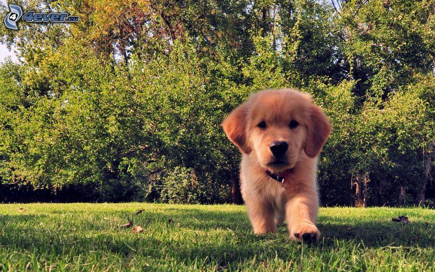 šteniatko Labrador
