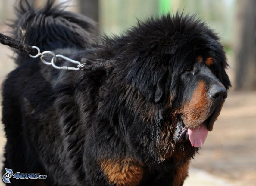 Tibetský mastif, vyplazený jazyk