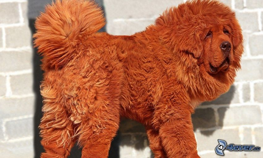Tibetský mastif