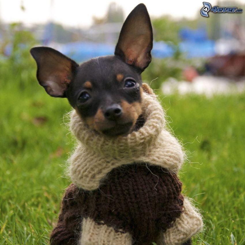 Trpasličí pinč, sveter