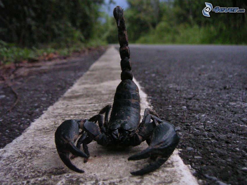 škorpión, cesta