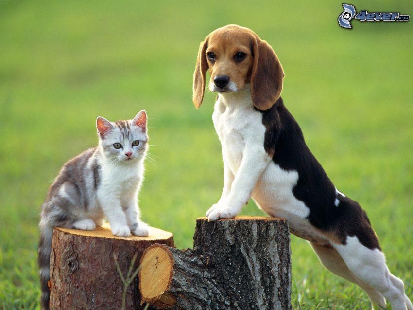 šteniatko bígl, mačka, peň