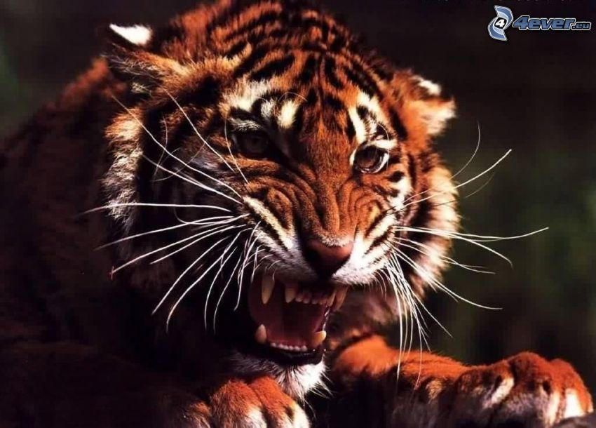 tiger, hnev