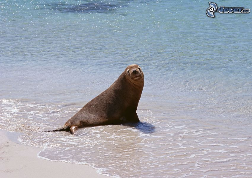 tuleň, more, pláž
