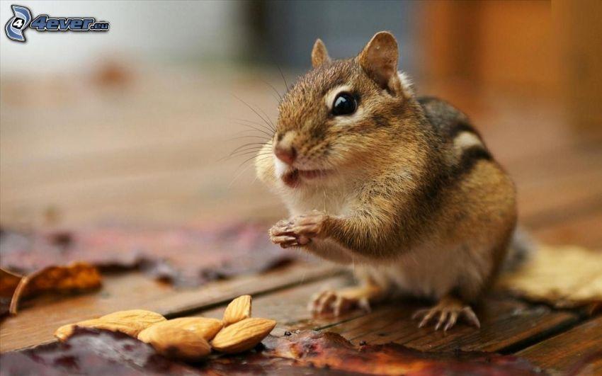 veverička, mandle