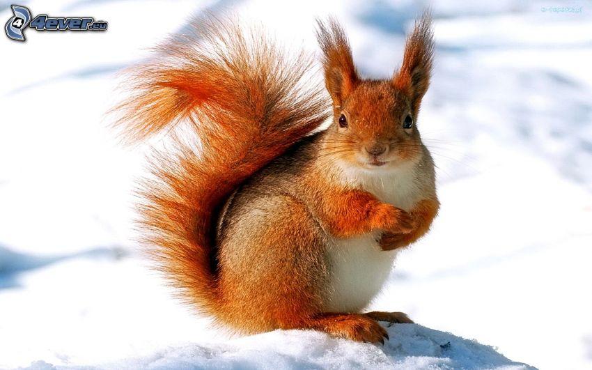 veverička, sneh