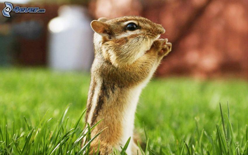 veverička, tráva