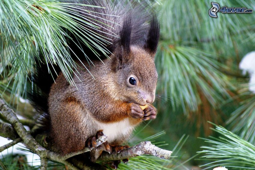 veverička na strome, ihličnaté stromy