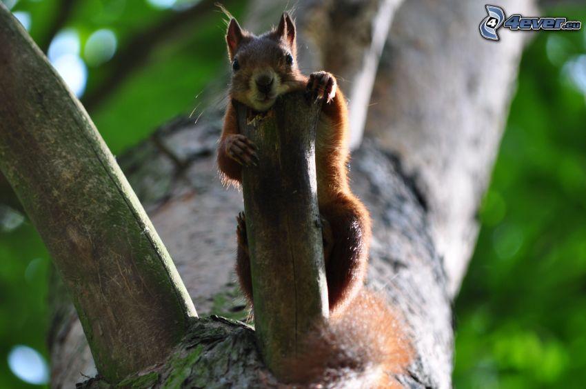 veverička na strome