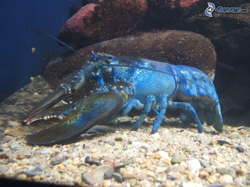 homár, morské dno