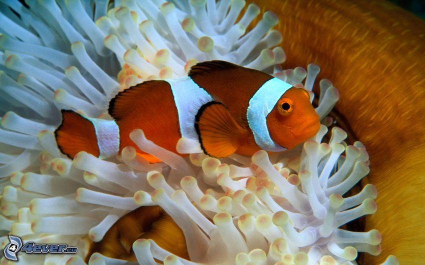 klaun očkatý, koralové rybky, sasanky