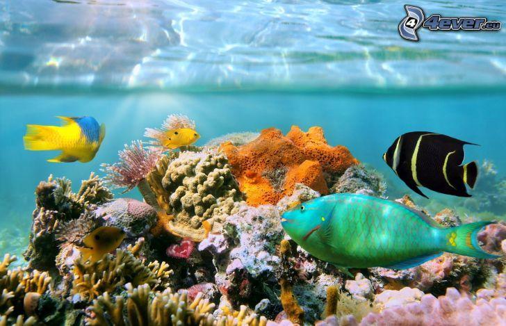 koralové rybky, koraly