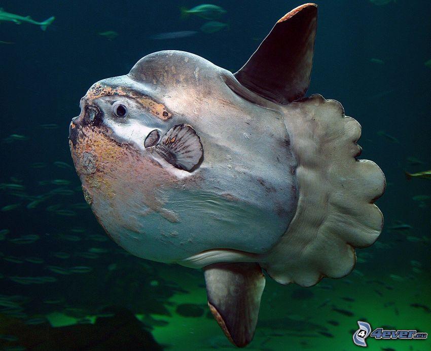 mesačník svietivý, húf rýb