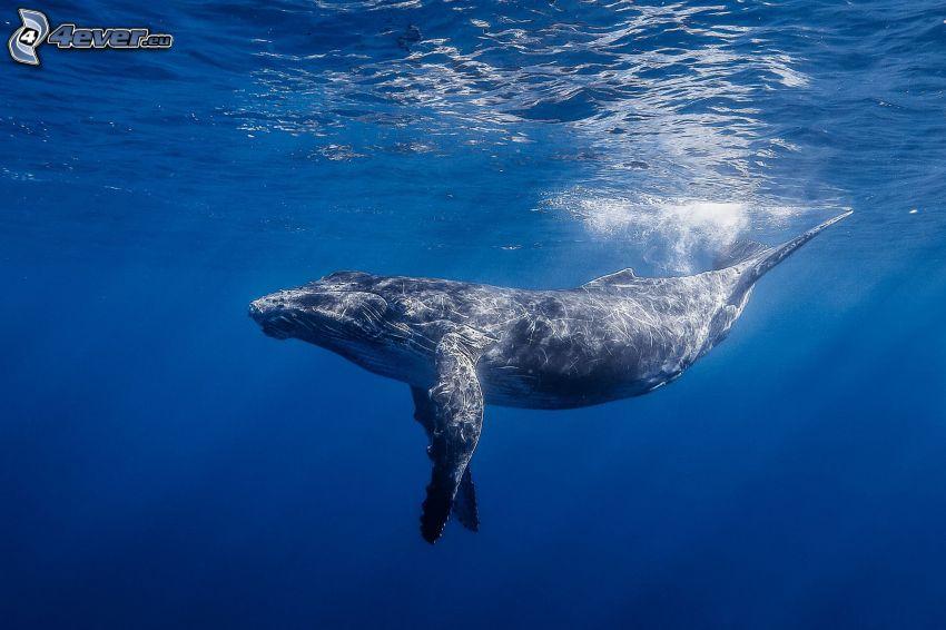 veľryba, more