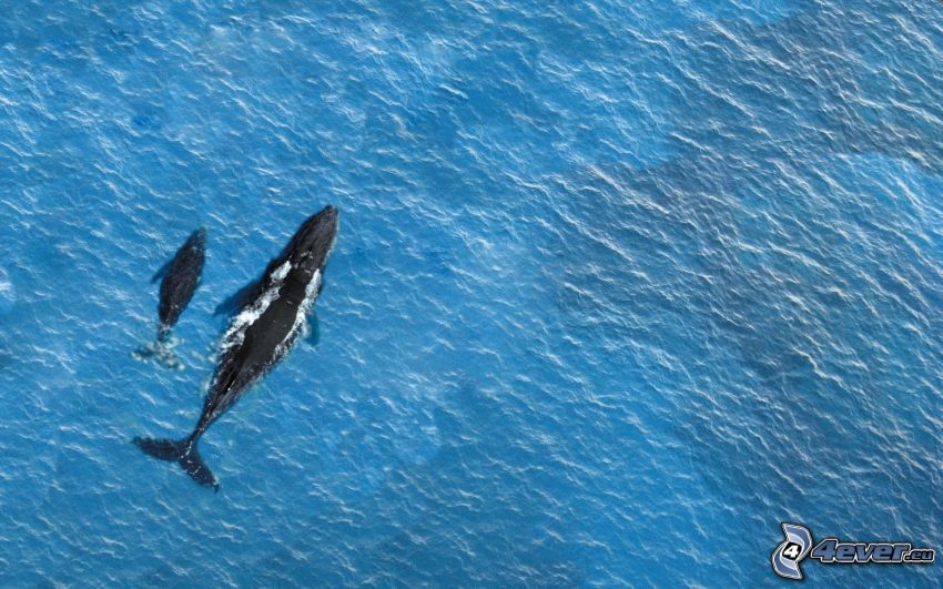 veľryby, more