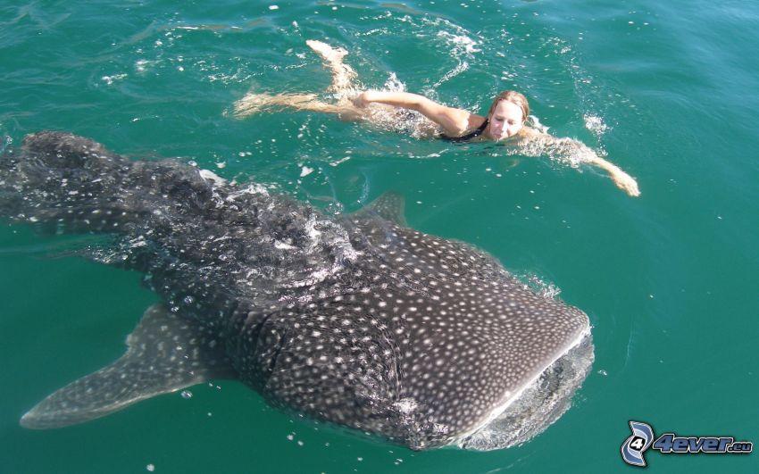Žralok veľrybí, žena, plávanie, voda