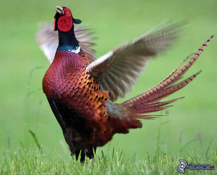 bažant, krídla