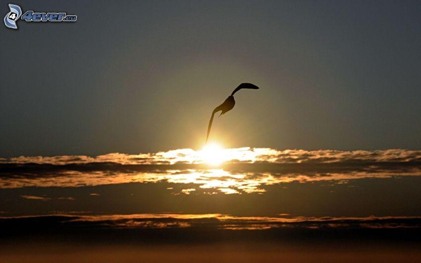 čajka, západ slnka v oblakoch, silueta vtáčika