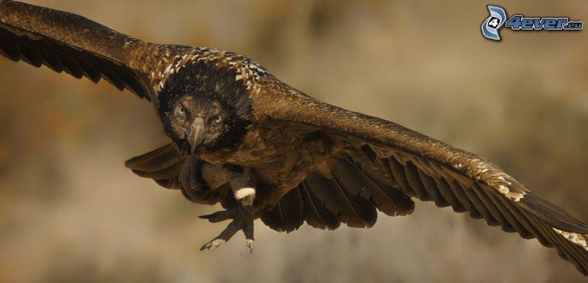 dravý vták, let, krídla