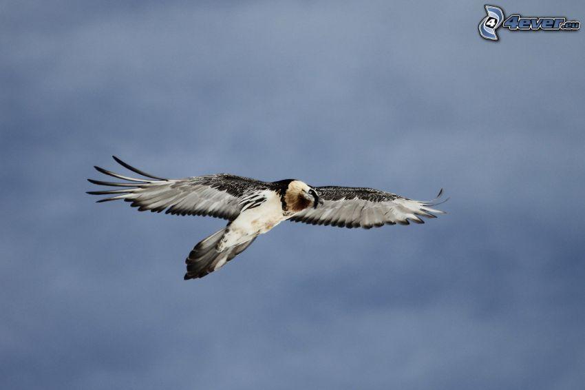 dravý vták, let