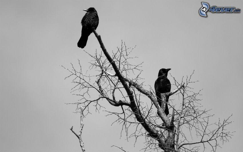 havrany, opadaný strom