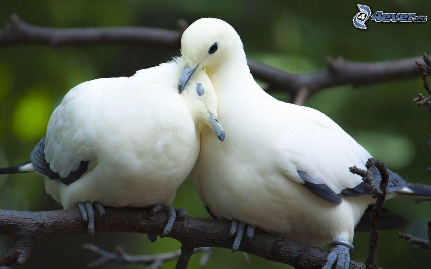 holuby, konáre, objatie
