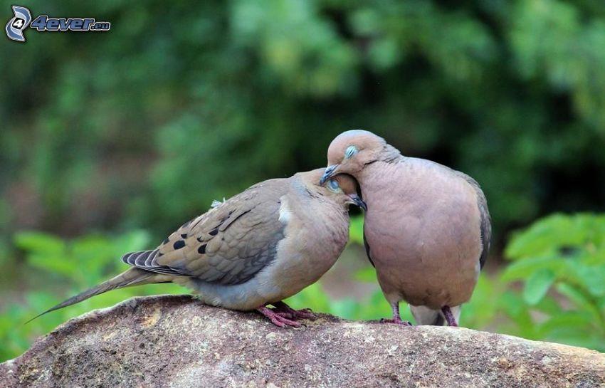 hrdličky, láska