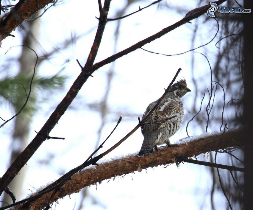 Jariabok lesný, vtáčik na konári