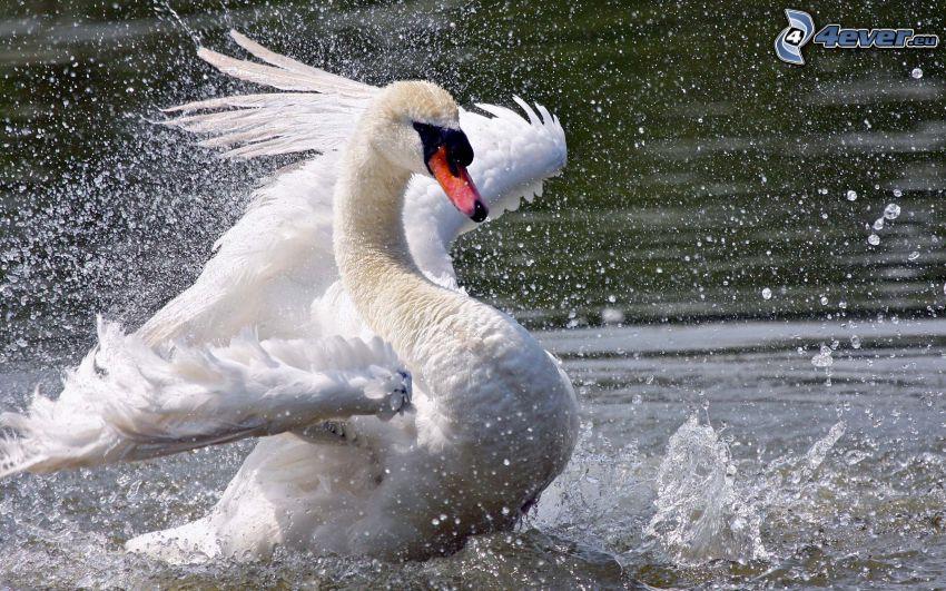labuť, krídla, šplech