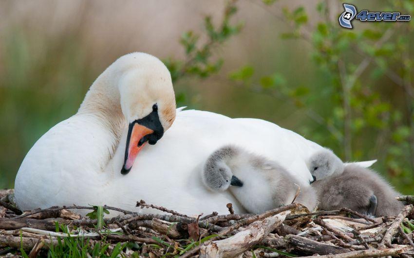 labute, mláďatá
