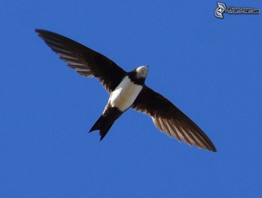 lastovička, let, krídla, modrá obloha
