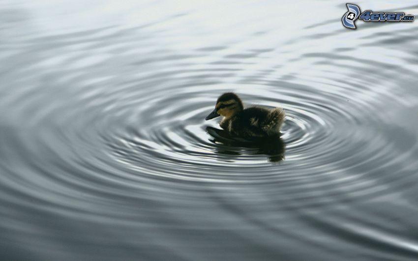 malé káčatko, voda