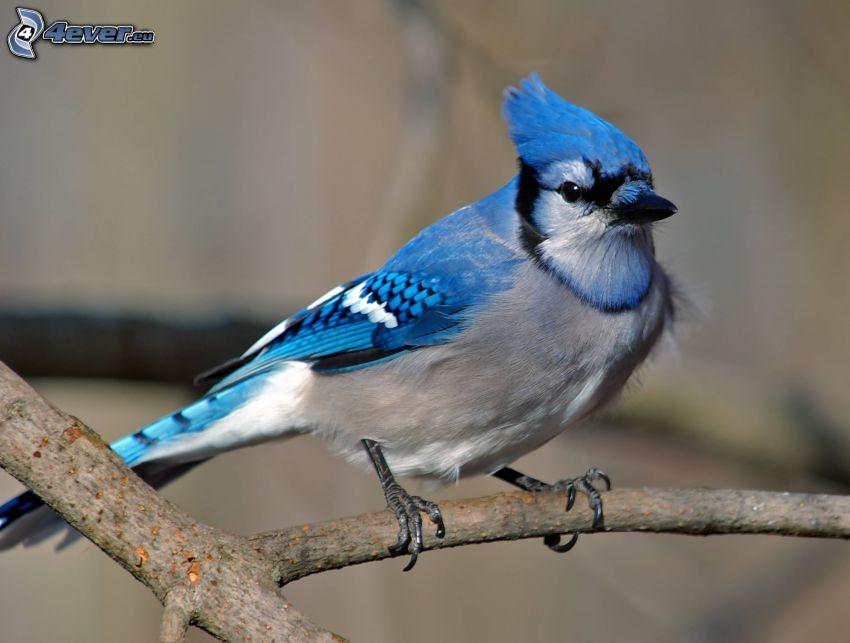 modrý vtáčik, konár