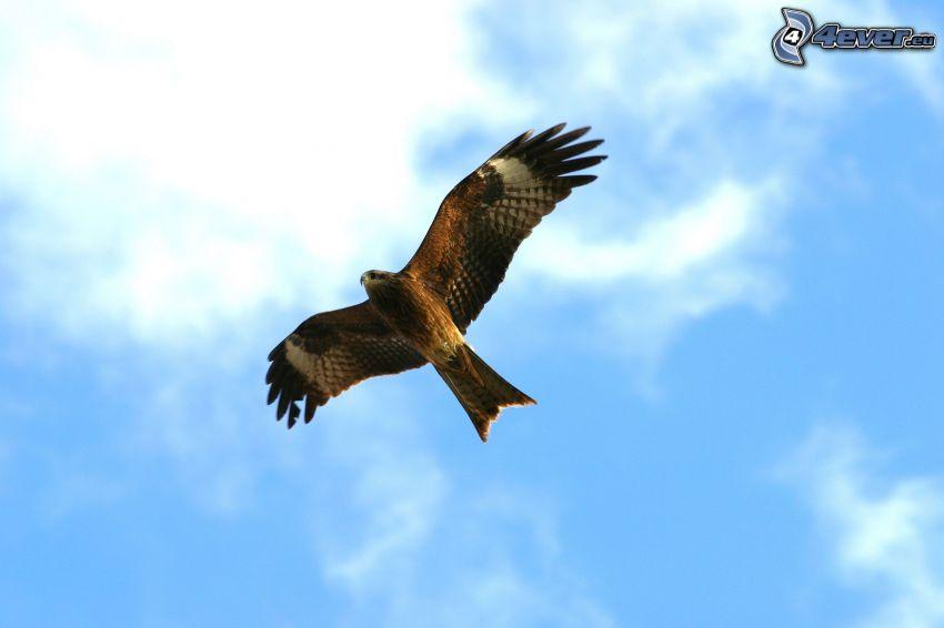 orol, krídla, let