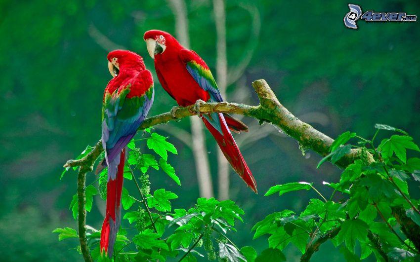 papagáje, konár