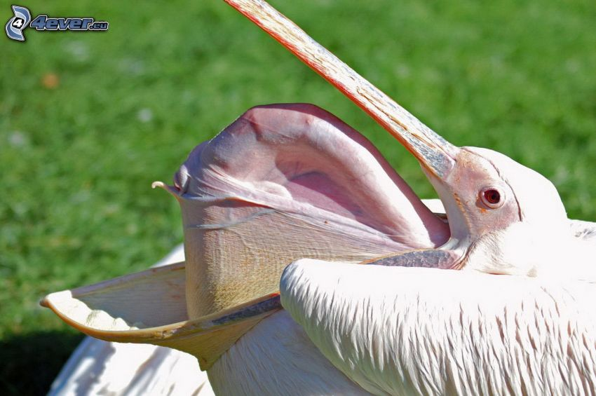 pelikán, zobák