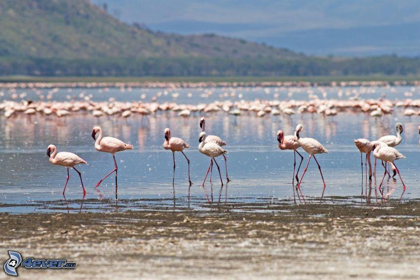 plameniaky, Nakuru, jazero