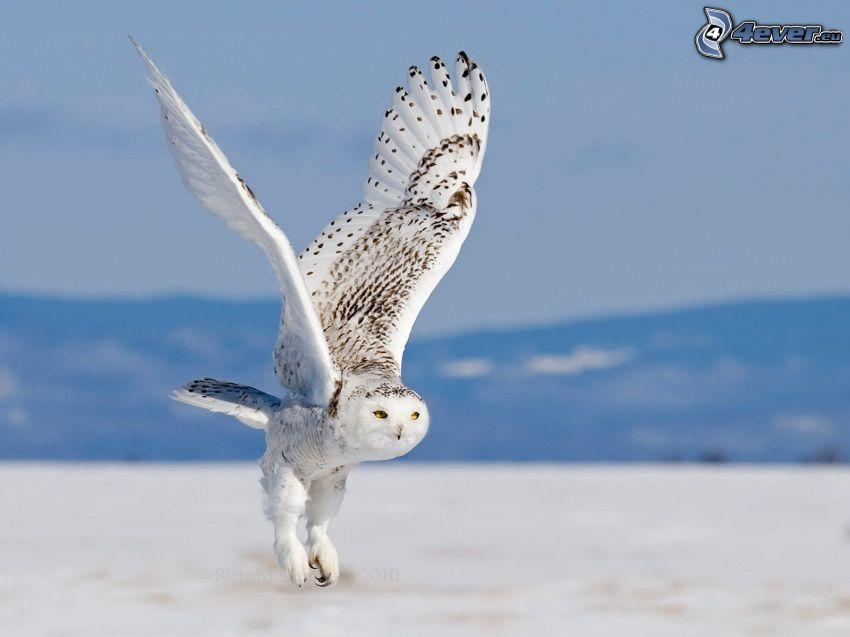 sova, krídla
